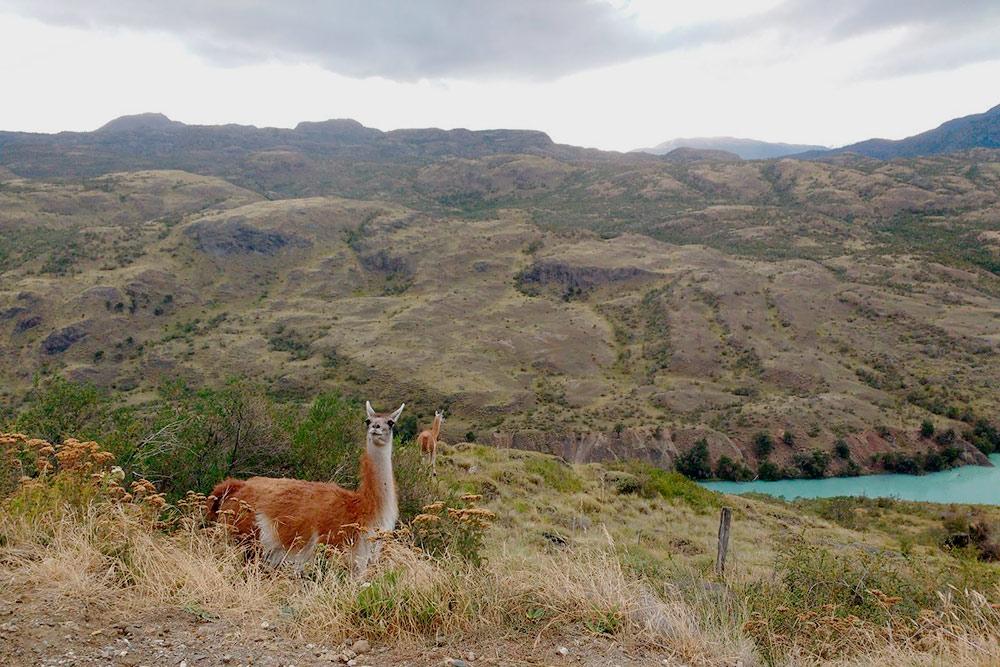 Встретить гуанако — местное животное рода лам. В Патагонии они обитают повсеместно