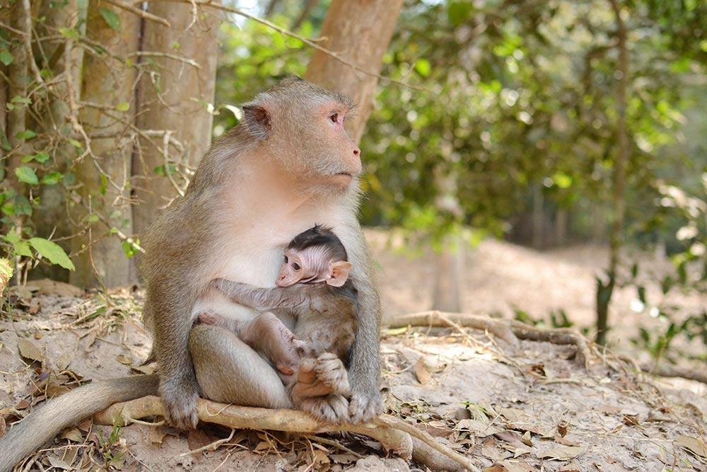 Обезъяны — местные жители города-храма Ангкора. Они не боятся туристов и могут забраться прямо на них или их вещи. Обезьян можно кормить: местные продают бананы по 1$ (65<span class=ruble>Р</span>) за штуку