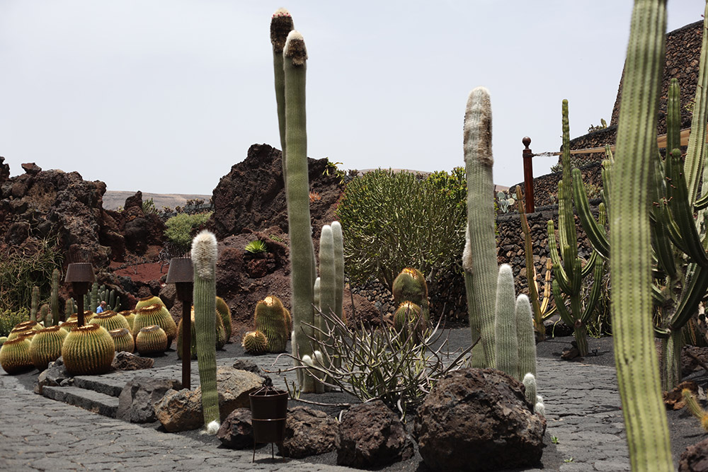 На Лансароте растут кактусы втрое выше человеческого роста. Круглые растения — размером с бочку