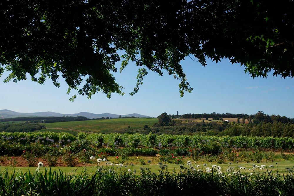 Виноградник на винодельне Alto близ Кейптауна