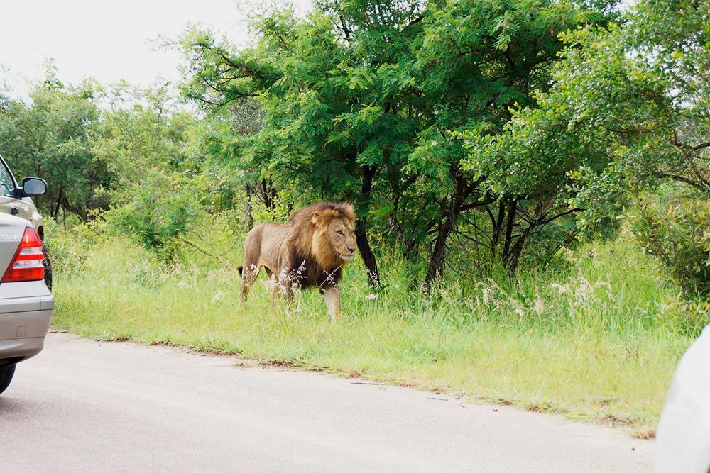 В национальном парке Крюгер львы спокойно могут прогуливаться вдоль дорог, а еще была пара случаев, когда слоны наступали на машины посетителей