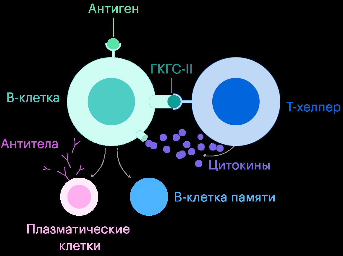 Т-хелпер связывается с В-клеткой, цепляясь за специальный белок — главный комплекс гистосовместимости IIкласса, ГКГС-II. Затем Т-хелпер выпускает цитокины — сигнальные химические вещества, которые активируют В-клетку изапускают процесс ее клонирования. В-клетка начинает делиться идает начало плазматическим В-лимфоцитам, которые создают антитела, иВ-клеткам памяти, которые помогают плазматическим клеткам моделировать обновленные антитела к коронавирусу