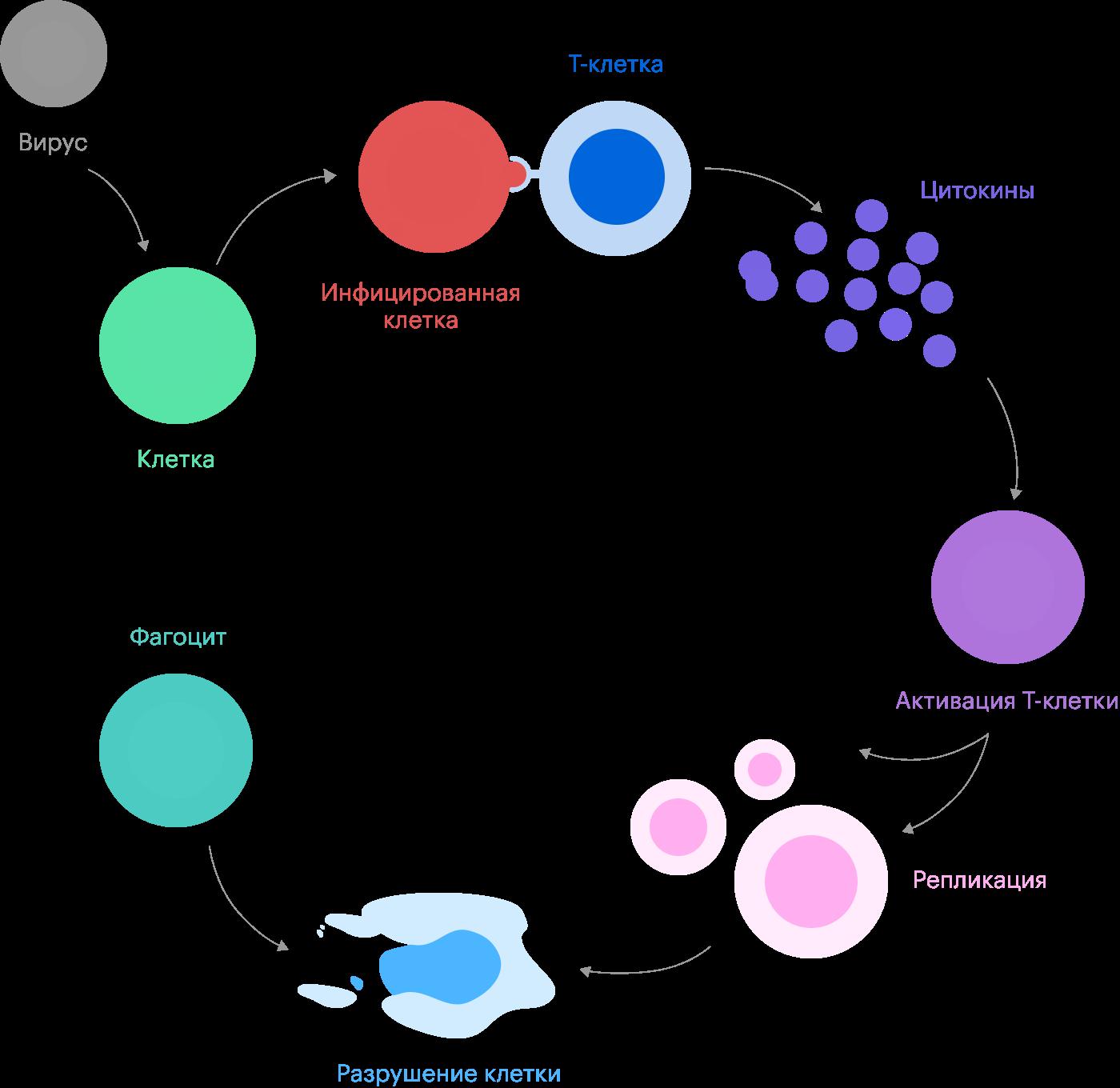 Т-клетка памяти узнает пораженную вирусом клетку, связывается сней ивыпускает цитокины — сигнальные химические вещества, которые активируют цитотоксические Т-клетки. Эти «спецназовцы» разрушают зараженные клетки, остатки которых потом поедают иммунные «мусорщики» — фагоциты