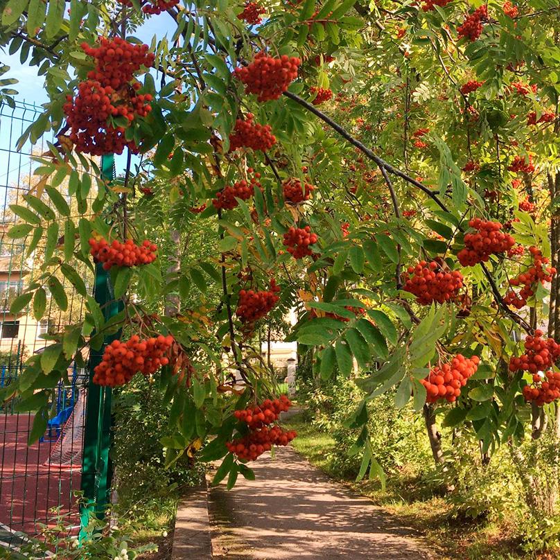 На рябине в этом году очень много ягод, наверное, к снежной зиме. Проверим!