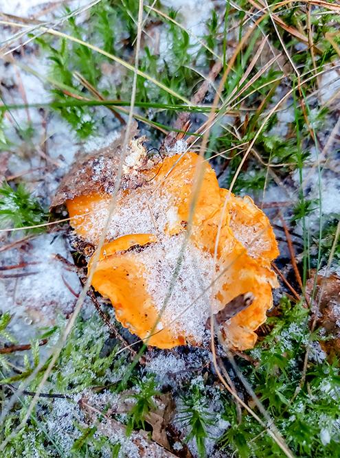 Замороженные лисички влесу