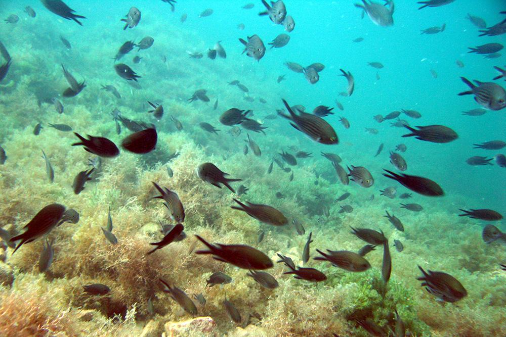 Любимицы многих дайверов на Черном море — рыбки-ласточки. Они интересно двигаются: работают хвостиком как ножницами. Мальки у них крохотные, ярко-синего цвета, но сфотографировать их не вышло