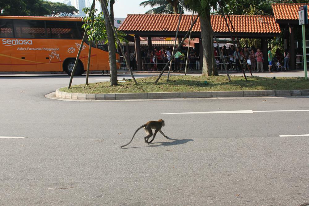 Остановка на острове Сентоза. По дороге бегают мартышки и гуляют павлины