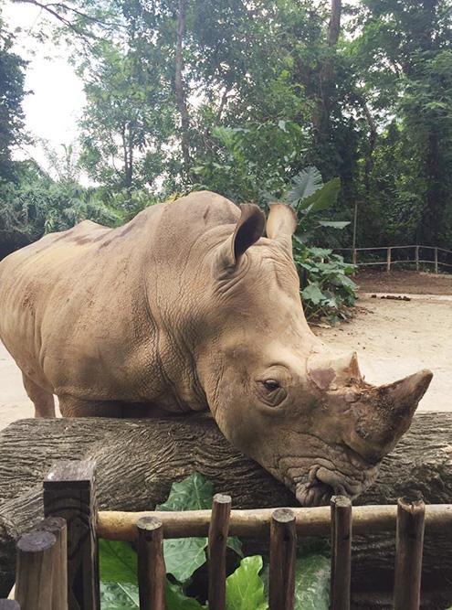 В Сингапуре я впервые увидела носорога. Животных трогать нельзя, но вольеры расположены так, что можно подойти достаточно близко