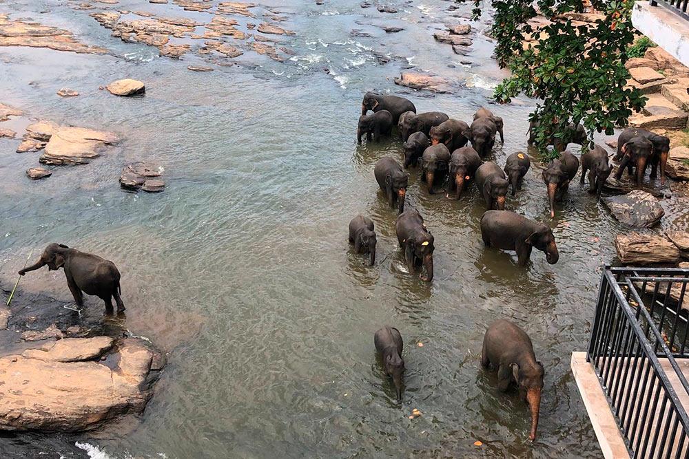 Я много читала о том, что со слонами в Пиннавеле обращаются жестоко. Но мы ничего подобного не видели. Наоборот, погонщики очень заботливо мыли животных. Кожа у слонов настолько жесткая, что для их мытья используют камень вместо мочалки