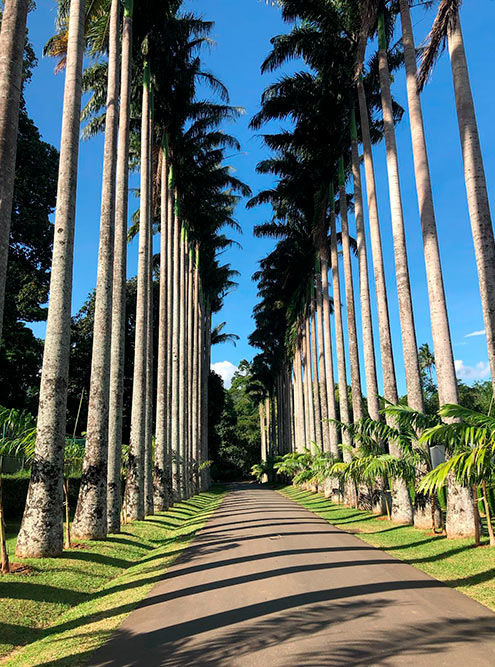 Пальмовая аллея в Королевском ботаническом саду