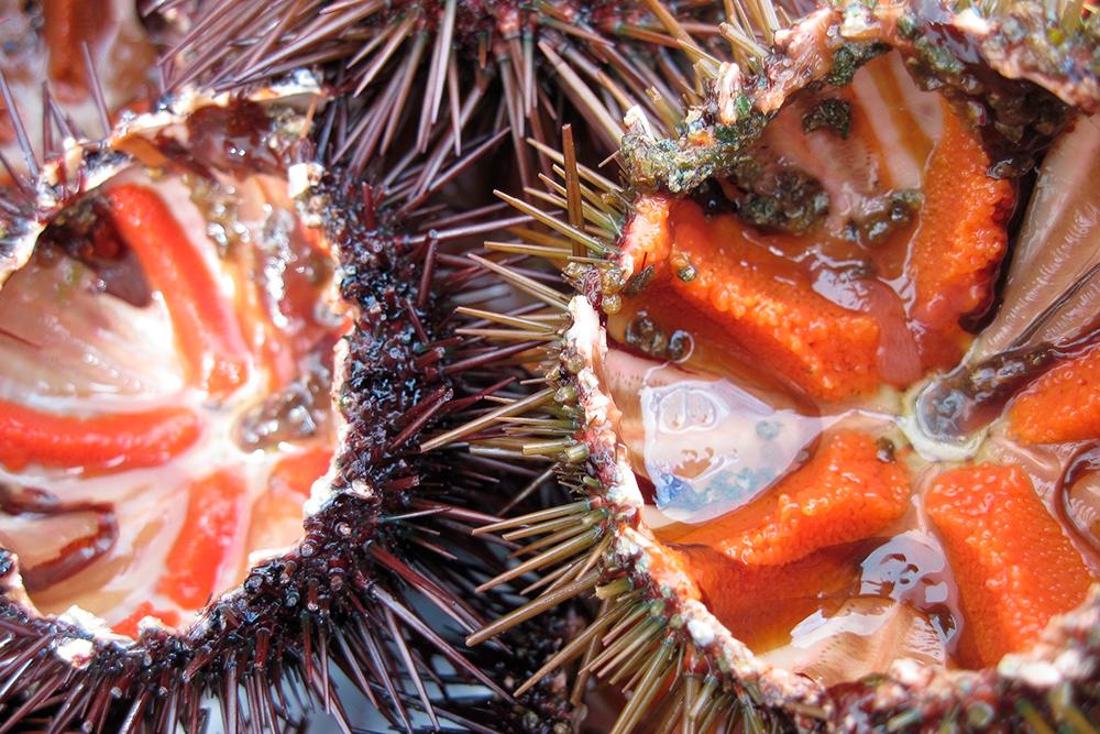 У морских ежей едят только икру. Источник: ulleo / Pixabay