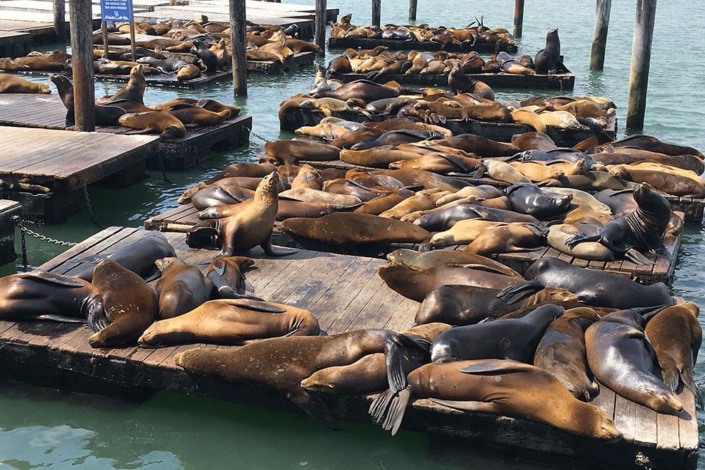 Морские львы на пирсе. Их специально подкармливают, чтобы они не уплывали