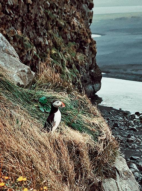 Тупик — символ Исландии. Основные места их гнездования: Dyrhólaey, Reynisfjara Beach, Heimaey и Latrabjarg
