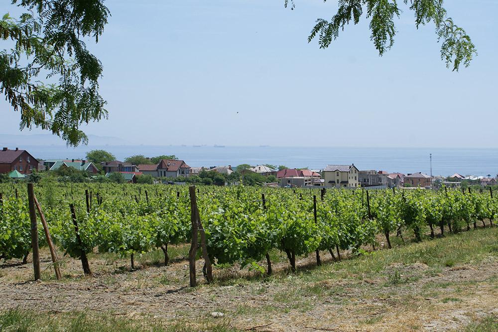 Виноградники в «Мысхако» самые живописные и спускаются прямо к морю