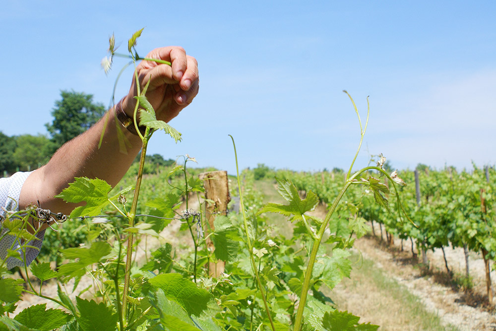 Технолог винзавода «Мысхако» показывает, как обламывают побеги, которые мешают правильному формированию куста