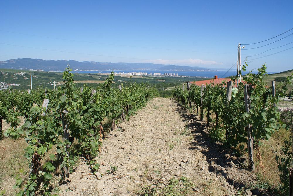 На Кубани выращивают преимущественно европейские сорта винограда: каберне, мерло, совиньон, шардоне и другие