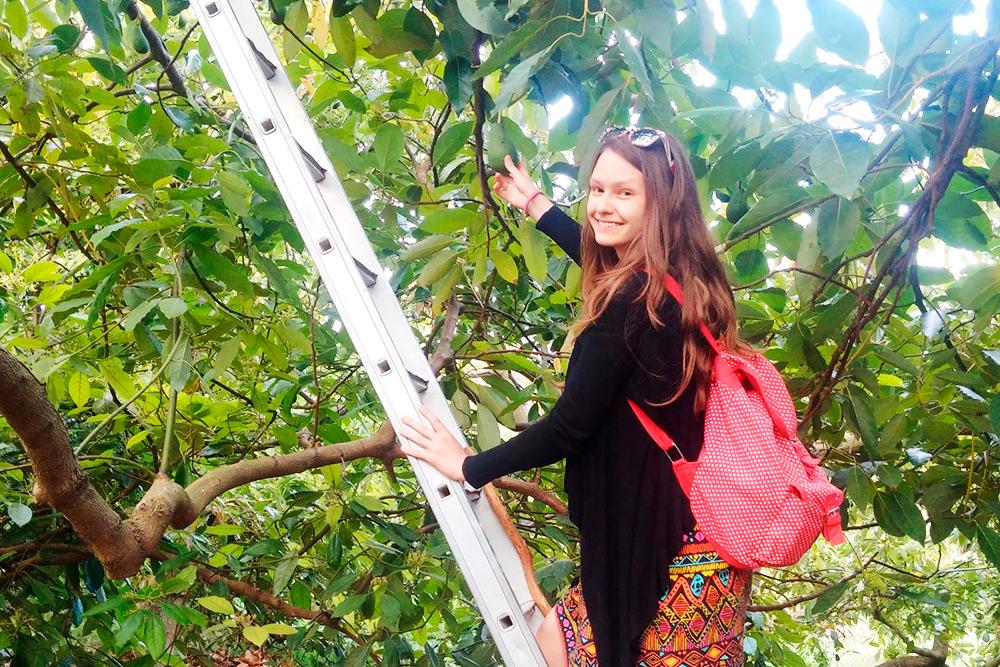 Мне удалось попасть на ферму авокадо, обычно закрытую длятуристов. Она находится в деревне Аргируполи в 25 км от Ретимно. Из авокадо делают свежевыжатый сок и замечательную косметику ручной работы