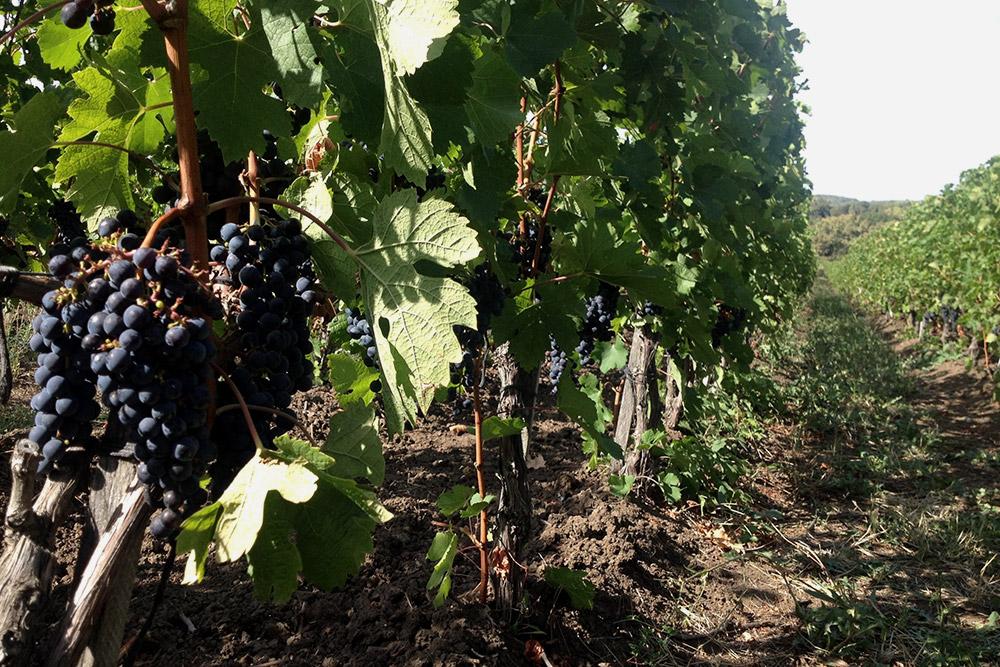 Вип-тур c выездом на виноградники в «Абрау-Дюрсо» стоит от 10 000 рублей для группы до четырех человек