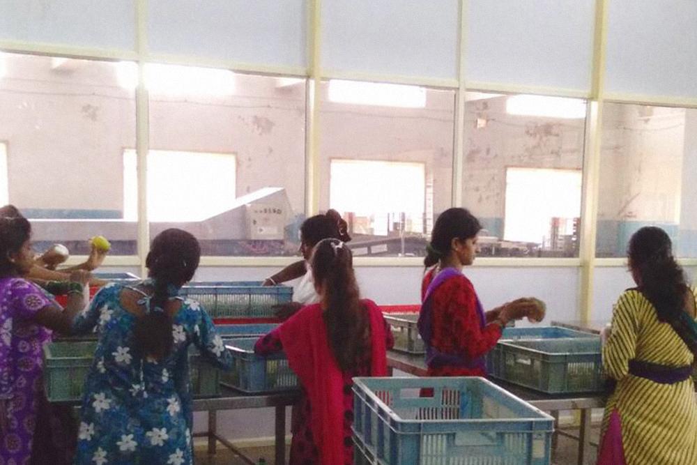 Женщины сортируют манго — потом плоды без изъянов уедут на фитосанитарную обработку