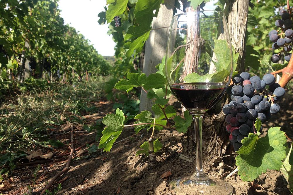 Виноградники Краснодарского края занимают более 26 тысяч га. Для сравнения, площадь виноградников во французском регионе Бордо — около 70 тысяч га, а в Божоле — 22 тысячи