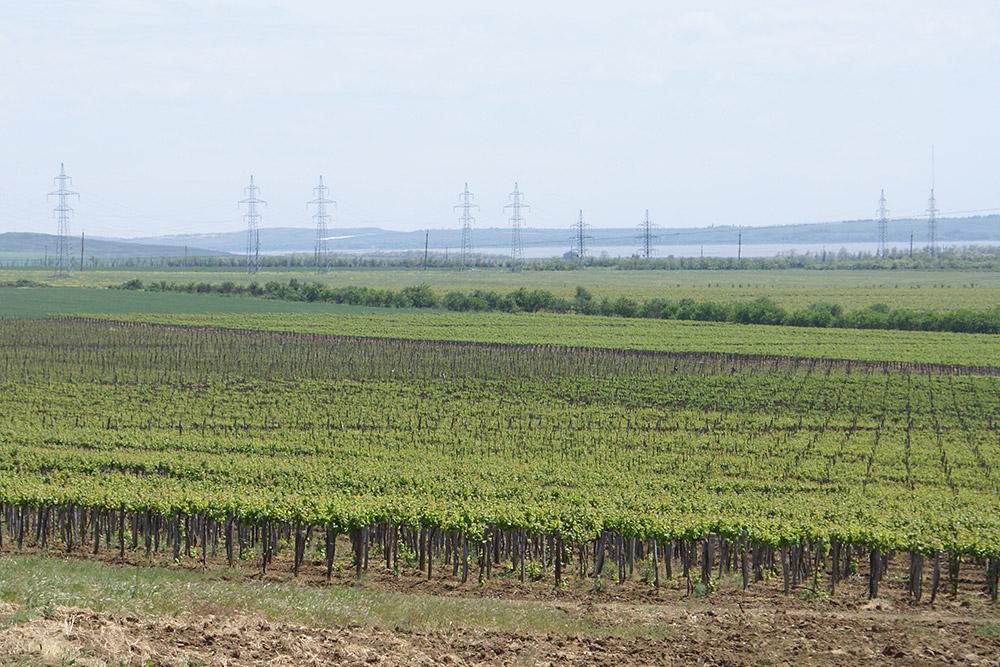 Виноградники «Фанагории»