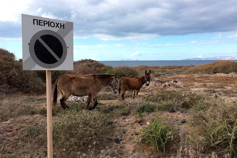 На Фирасье та же живность, что и на Санторини: ослы, зайцы, собаки и кошки