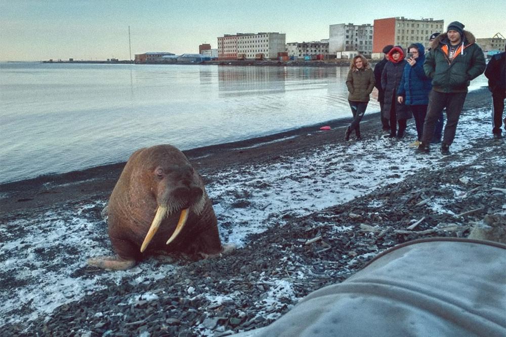 На берег Чаунского залива летом выбираются моржи. Моржи занесены в Красную книгу. Охота на них запрещена