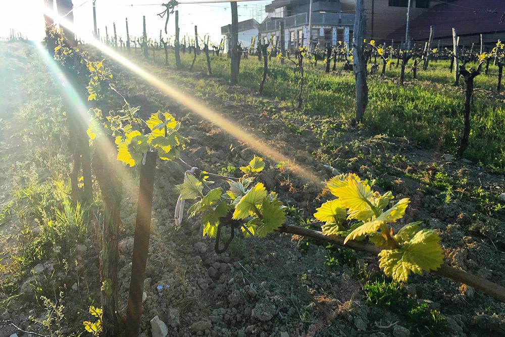 Так выглядят виноградники в «Усадьбе Мысхако» в начале мая