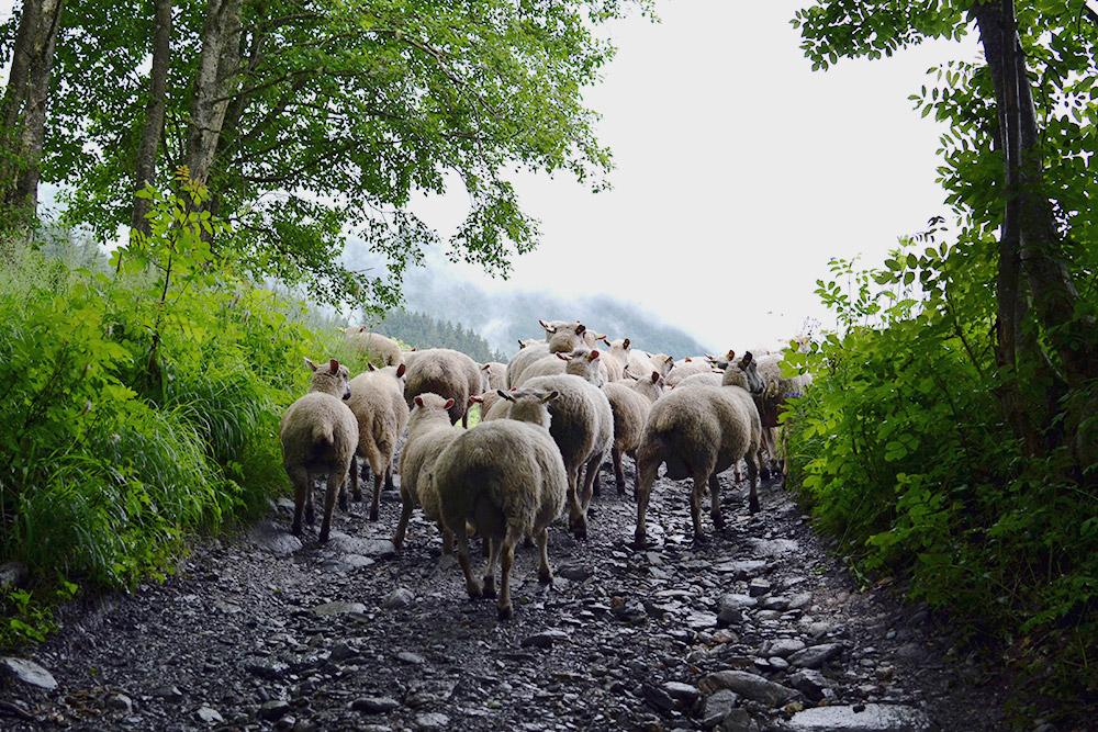 По туристическим тропам передвигается местный скот с пастбищ