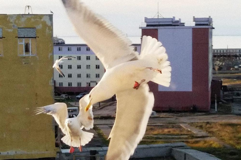 Орнитологи скажут, что это чайки, но в Певеке их зовут бакланами