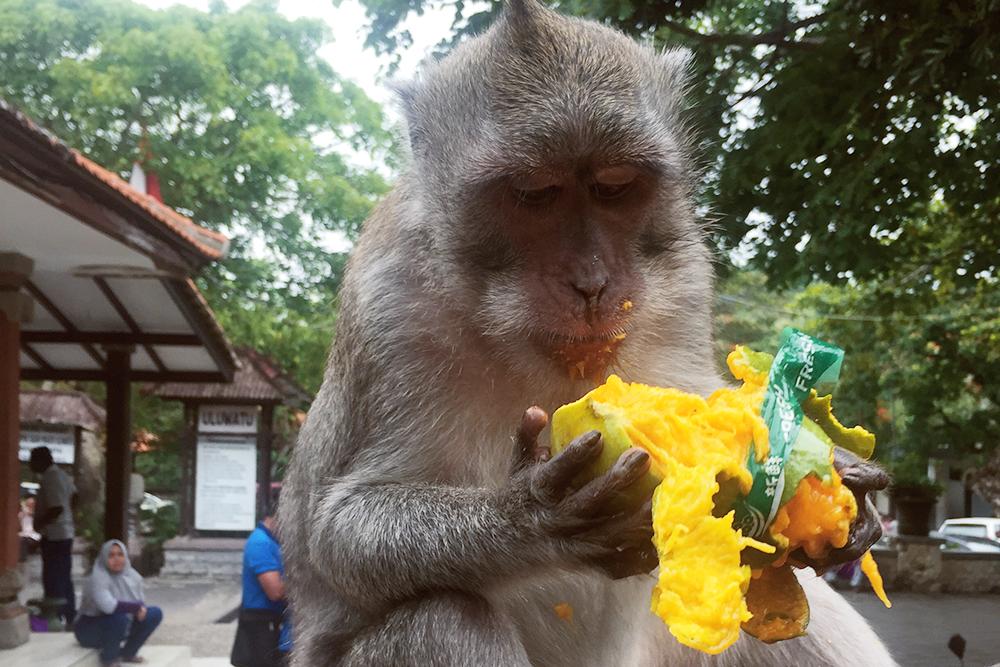 Манго в Индии — любимое лакомство обезьян
