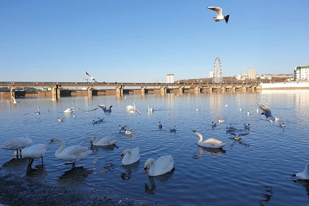 Местные жители любят подкармливать лебедей ивечно голодных чаек назаливе