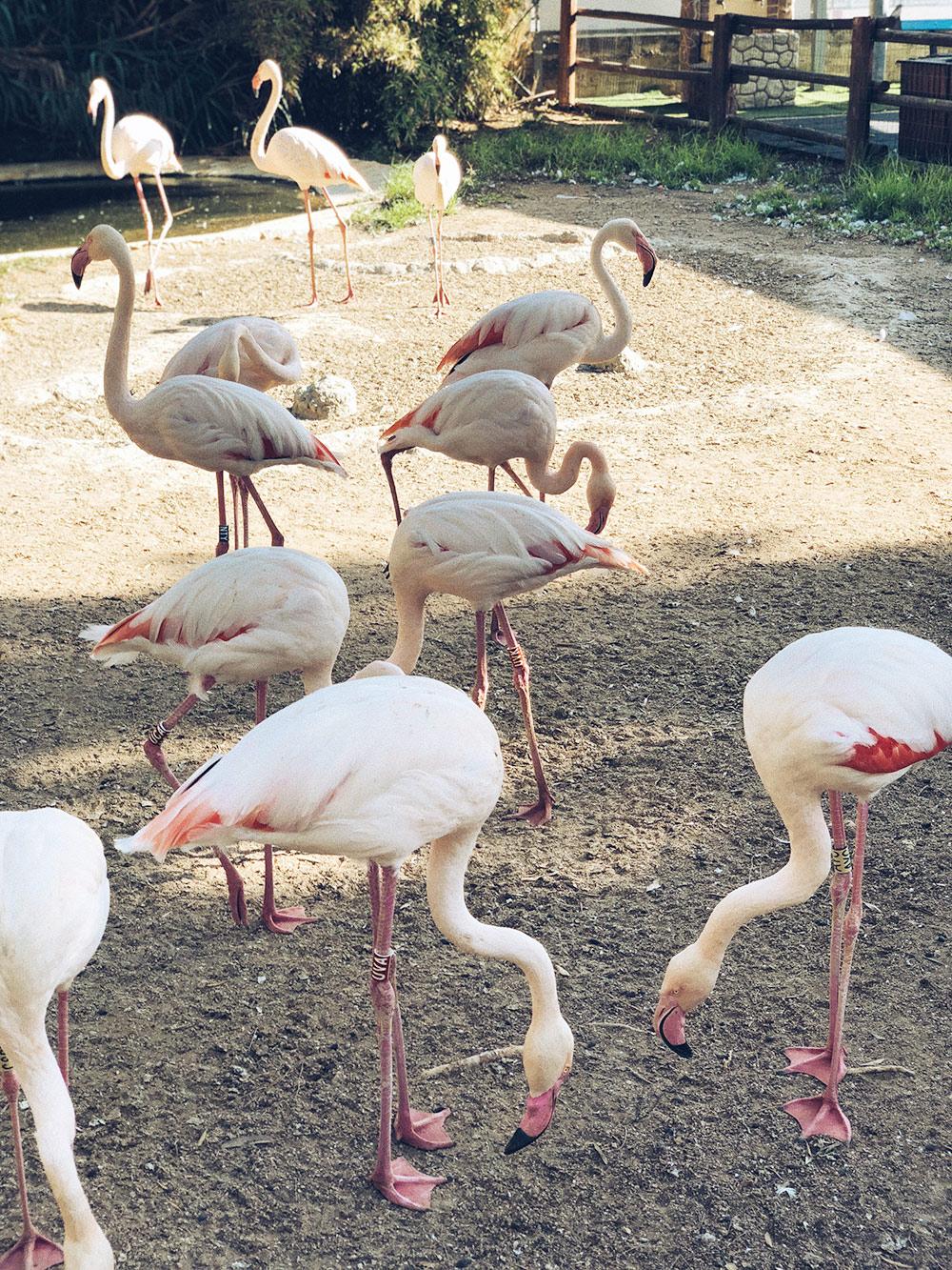 Розовые фламинго живут не только в зоопарке Лимасола, но и прилетают зимовать на соленые озера Лимасола и Ларнаки