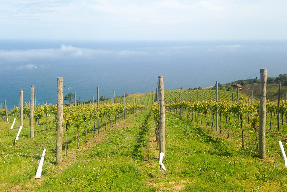 Виноградник на севере Испании в Стране Басков