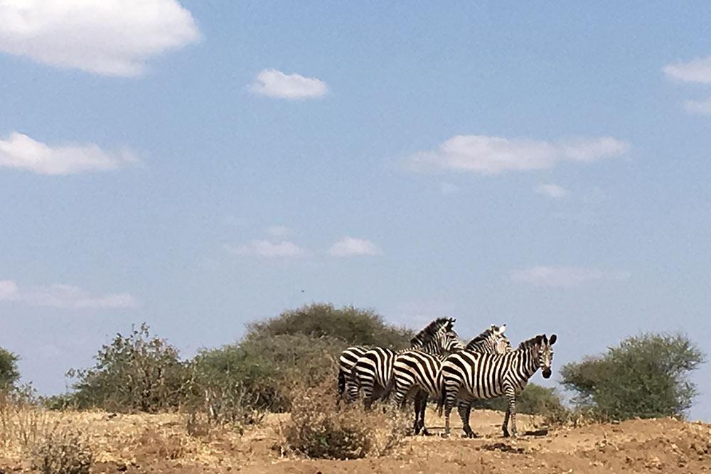 Аэто сцена изнационального парка Тарангире. Встатье расскажу, вкакое время лучше ехать насафари, чтобы увидеть побольше африканских зверей