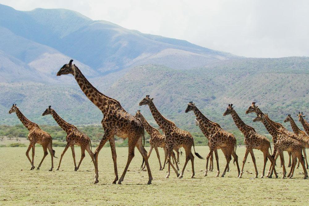 Стада жирафов, грациозно бредущие вдоль горизонта, впарке Серенгети. Поневедомой мнепричине жирафы смотрят водном направлении. Также синхронно онименяют направление