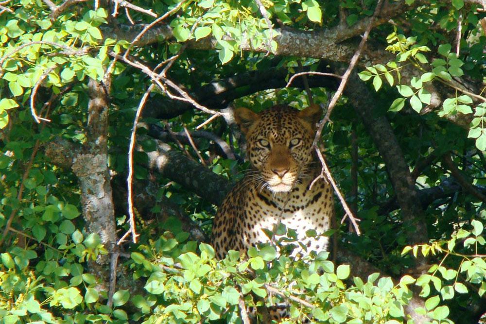 Это взрослый леопард. Ониобычно прячутся надеревьях, иихочень сложно заметить