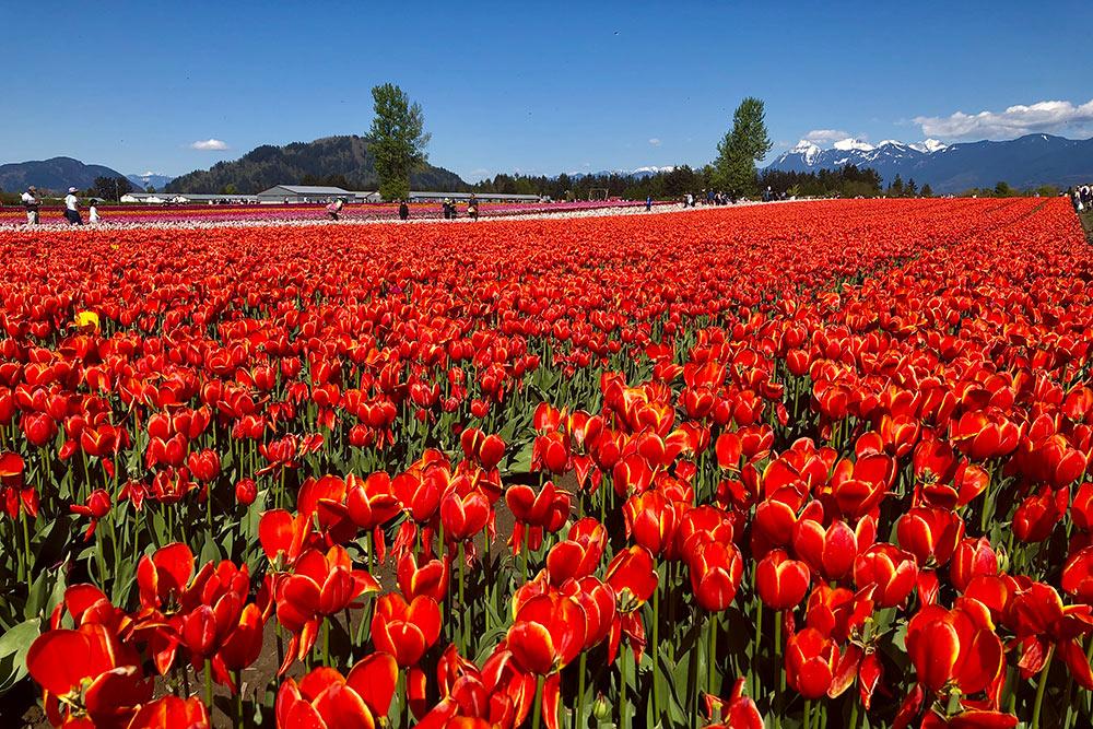 На фестивале тюльпанов в окрестностях Ванкувера посетители гуляют по разноцветным цветочным полям. Сюда приезжают за запоминающимися фотографиями