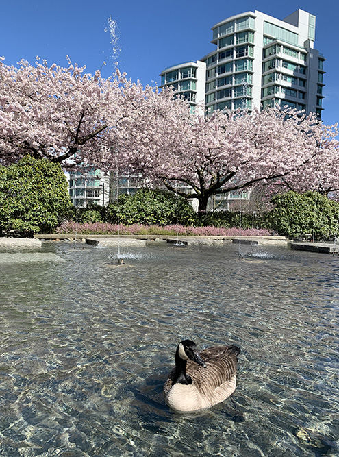 Пик цветения сакуры в Ванкувере обычно приходится на апрель и длится всего пару недель