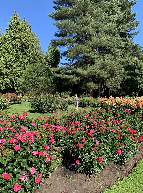 В конце июня и начале июля можно застать сезон роз в «Стэнли-парке»