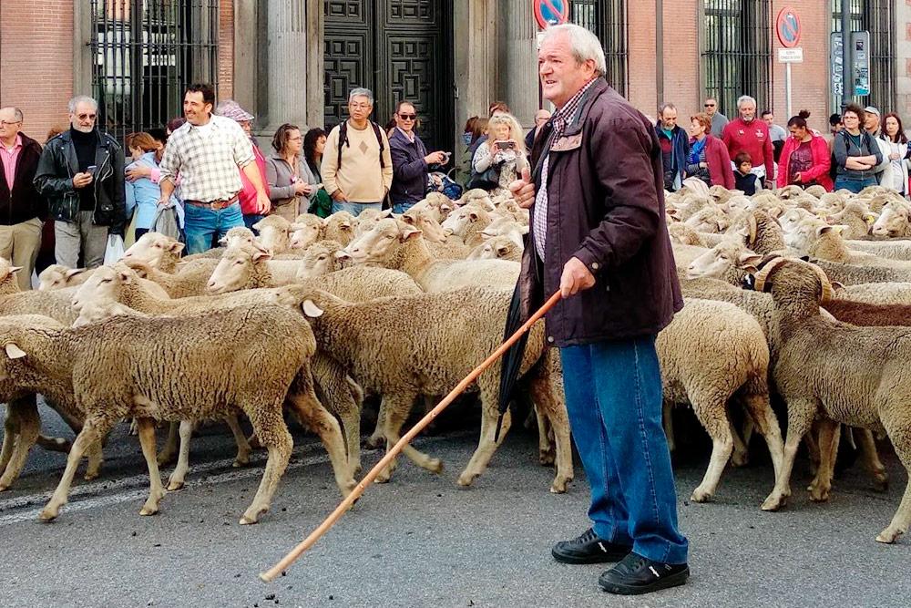Праздник перегона овец в Мадриде. Ежегодно в конце осени отары проводят через центр города по отрезку маршрута, по которому в старину пастухи перегоняли овец с севера на юг Испании перед наступлением холодов. На фото — пастух