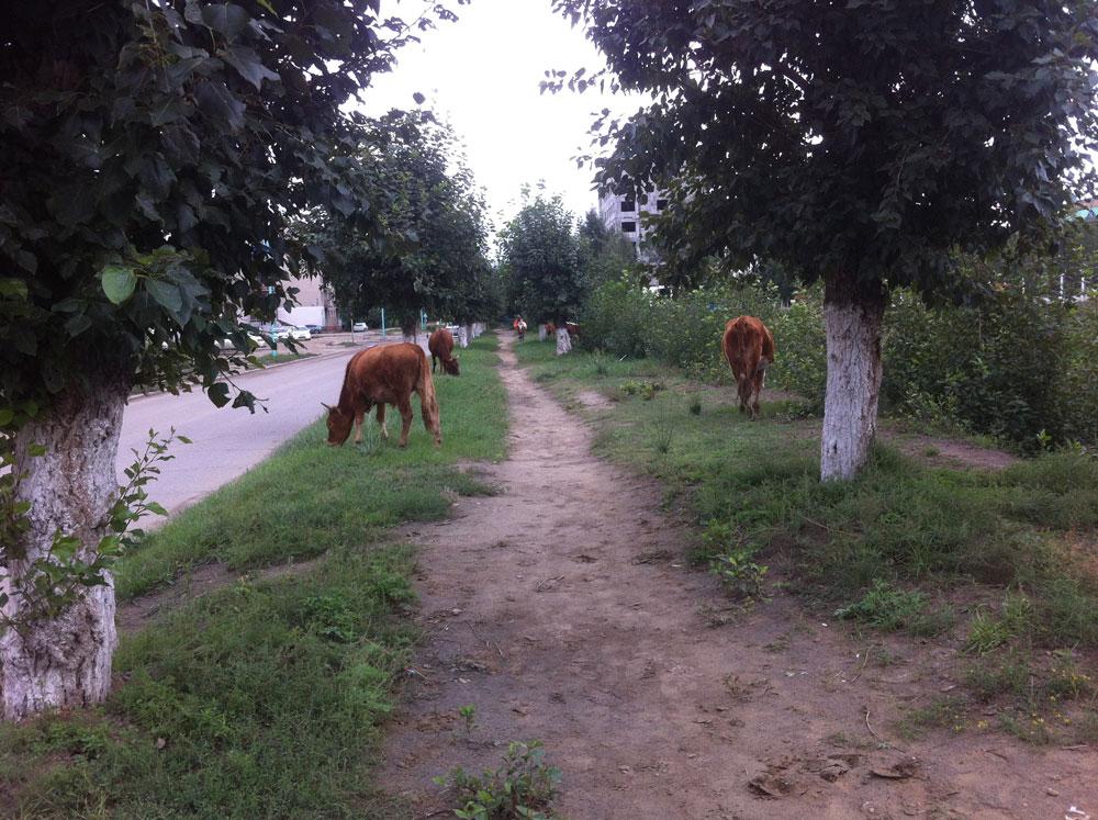 Но коровы есть и у самих жителей Дархана, живущих в частном секторе