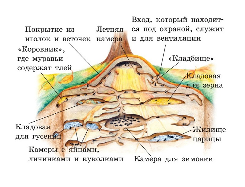 Жизнь муравьев очень организована и подчинена работе на воспроизводство. Источник: онлайн-энциклопедия Sitekid