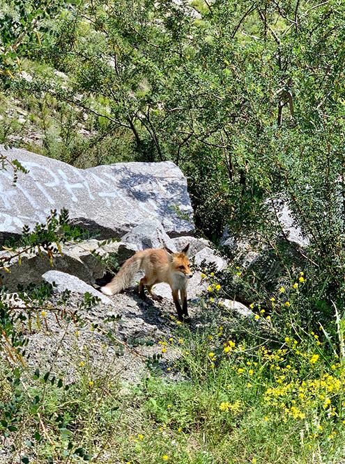 Около дороги мы встретили лису