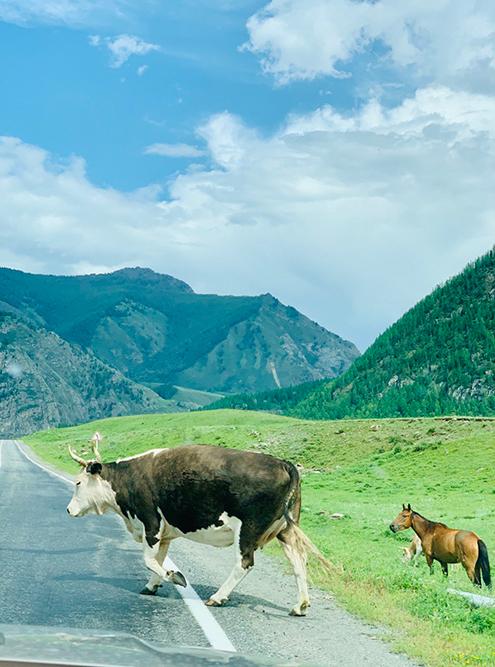 Коровы и лошади на свободном выгуле