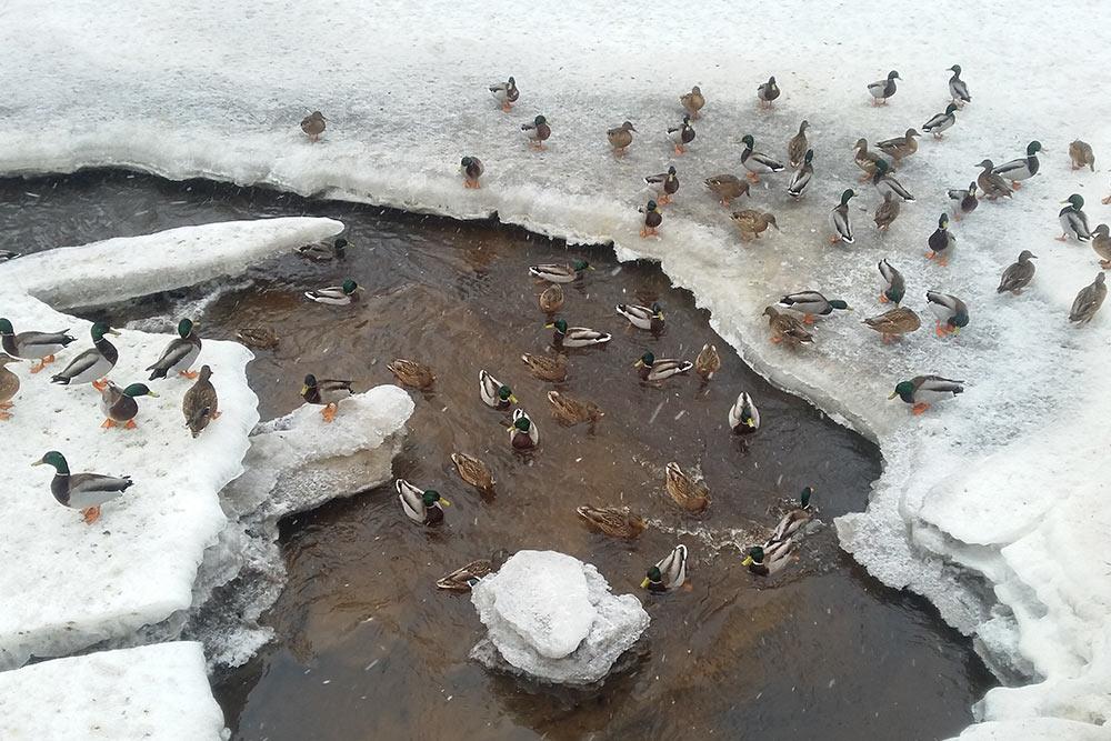 Утки живут в парке круглый год и почти не боятся людей