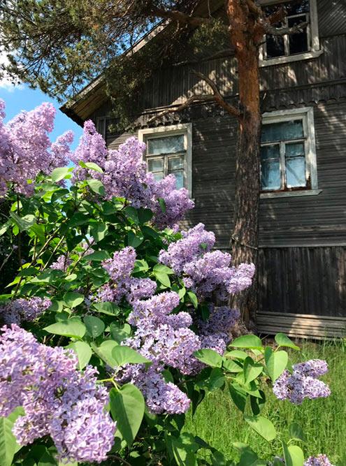 Это фото сделано в петрозаводском районе Соломенное. Отъехав немного от центра города, можно оказаться в настоящей деревне со старыми домами и буйной сиренью во дворах