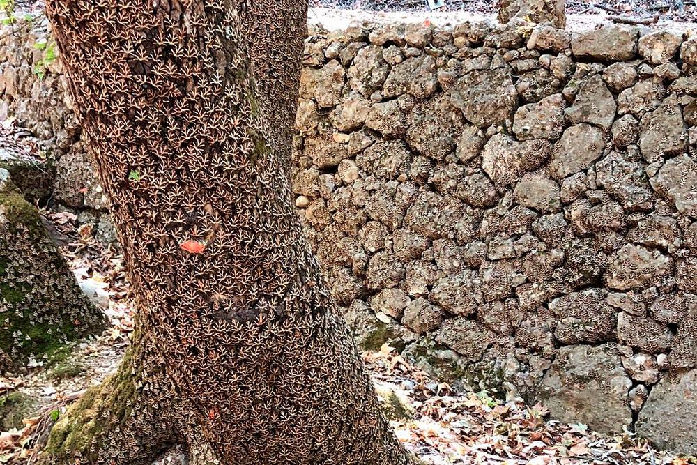 У бабочек маскировочный окрас. Я не сразу заметил, что они живой вуалью окутали все дерево