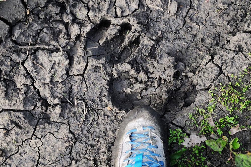 Следы животных встречаются постоянно. Особенно хорошо их видно после дождя на мокрой земле