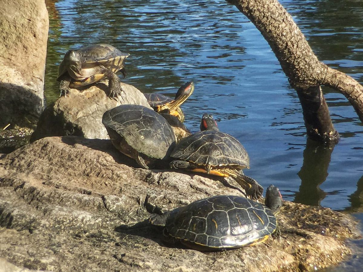 Черепахи в парке «Голден-гейт»
